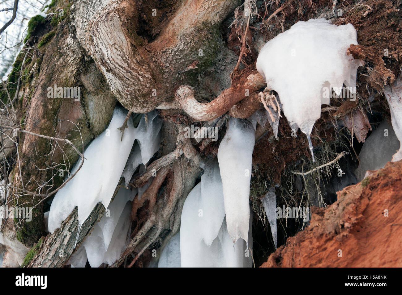 Open tree roots with hanging icicles in closeup - Stock Image
