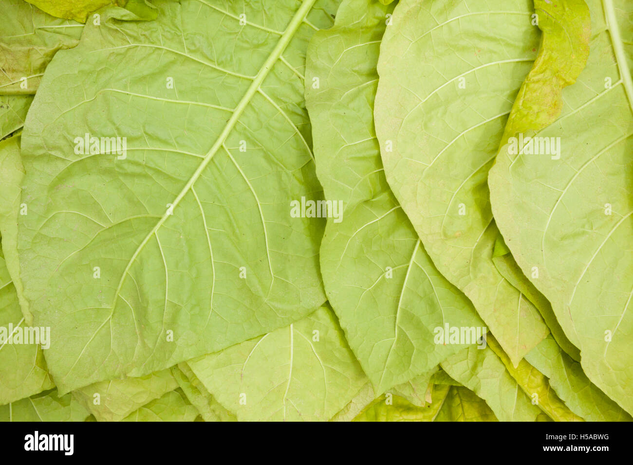 green tobacco leaves or natural background - Stock Image
