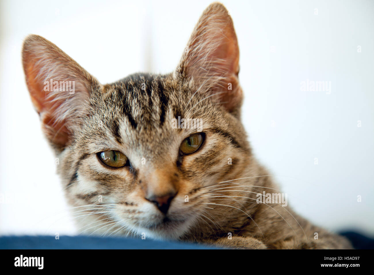 beautiful young striped cat on white background - Stock Image