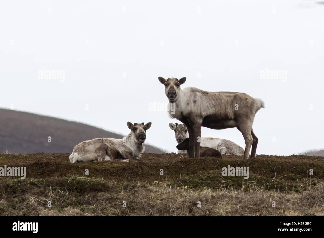 Group wild reindeer on the tundra in the early spring on a cloudy day - Stock Image