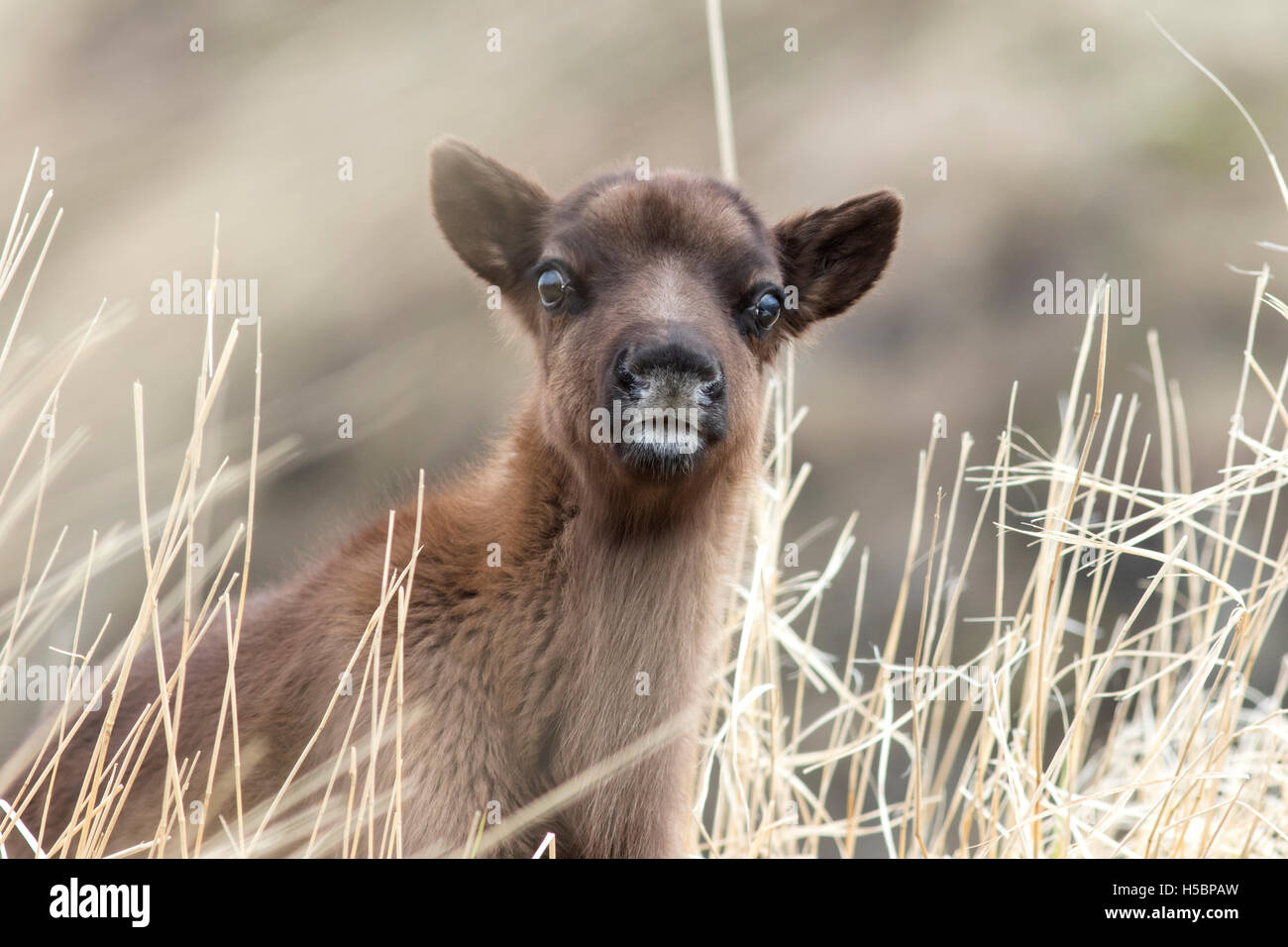 Portrait calf reindeer cloudy day in the grass - Stock Image