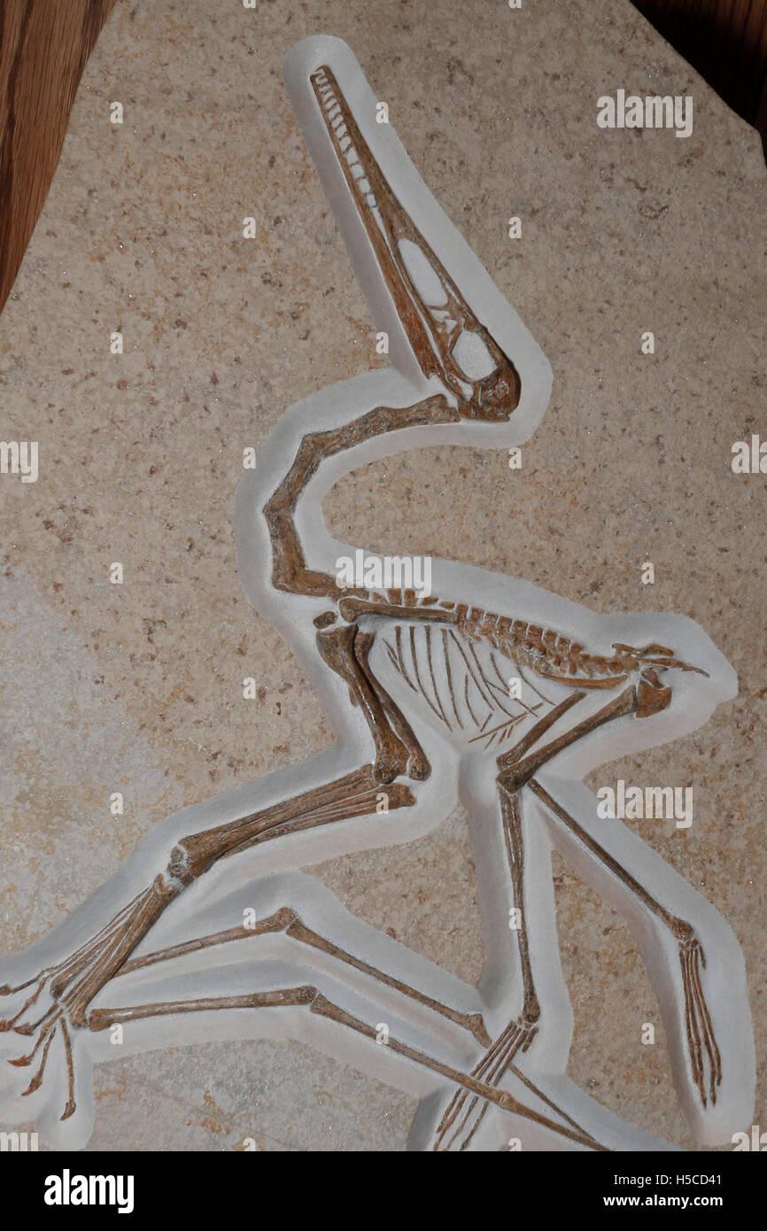 First Pterosaur; Pteodactylus antiquus; Late Jurassic; Germany - Stock Image