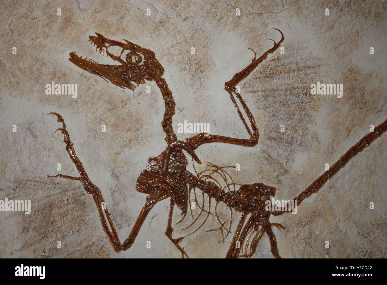Microraptor fossil, a Feathered Dinosaur, the early Cretaceous Period from China - Stock Image
