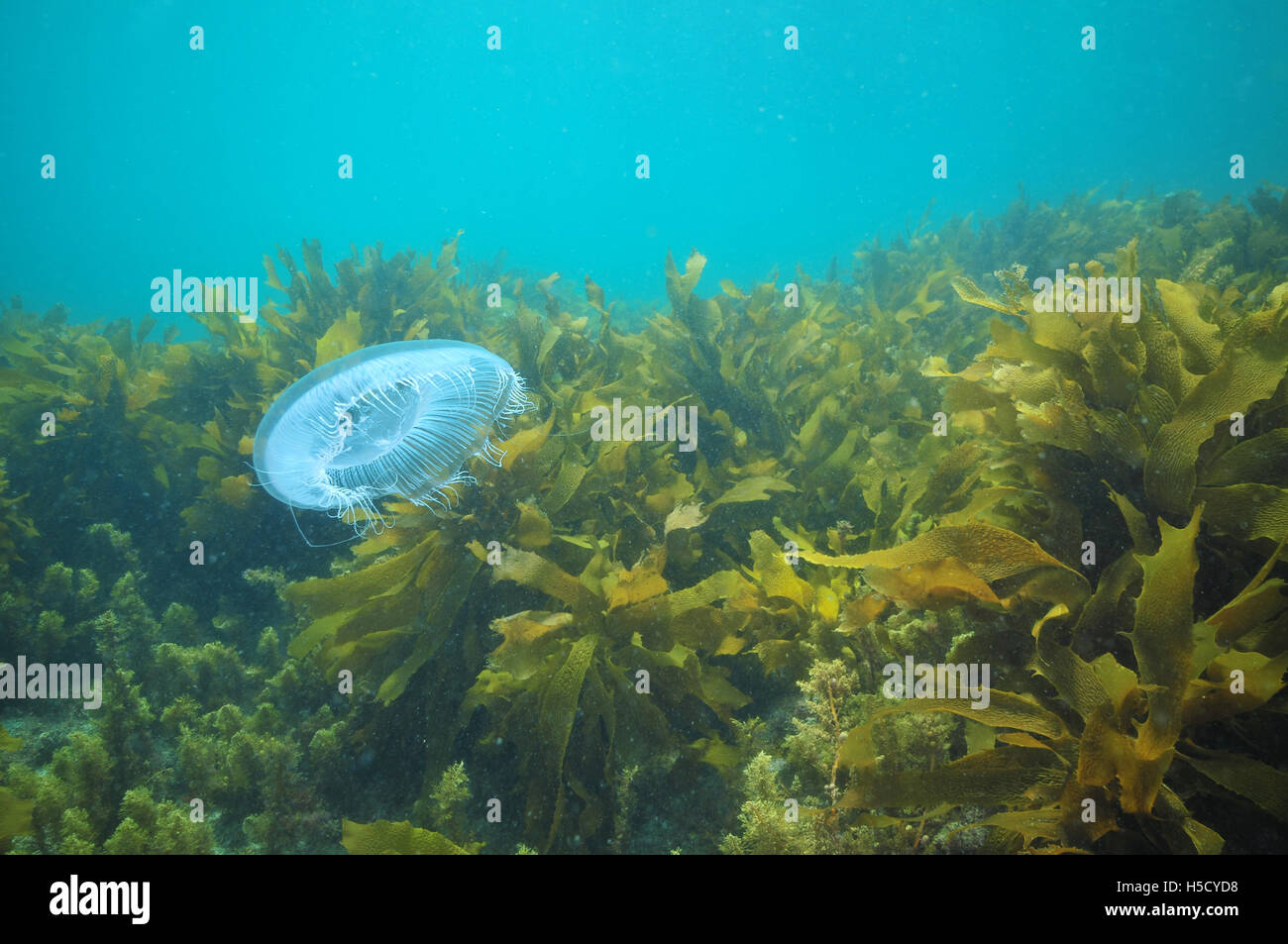 Jellyfish hovering among kelp - Stock Image