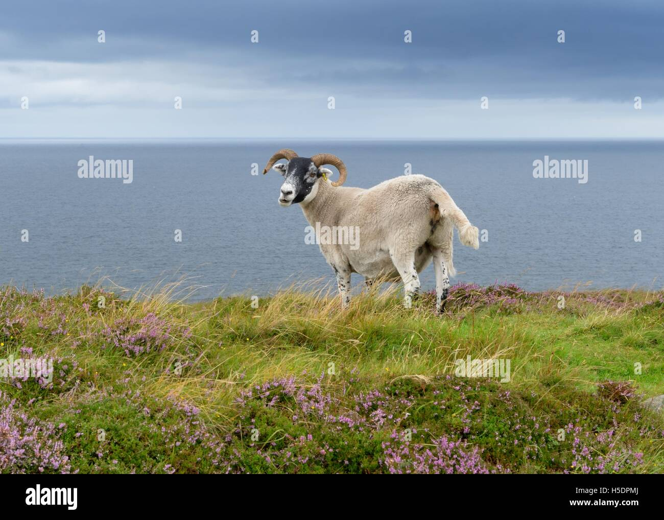 The Scottish Blackface sheep standing on hill with the sea behind it in Highland, Scotland, UK Stock Photo
