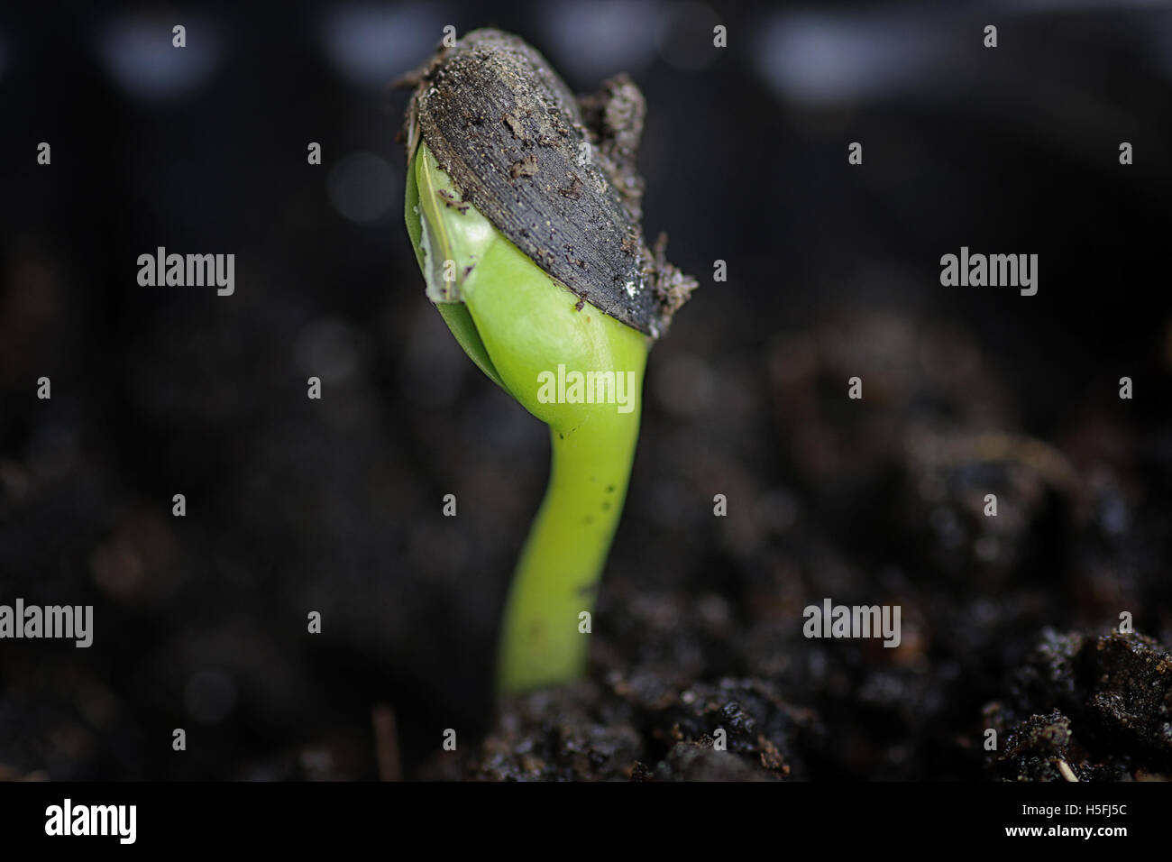 small sprout from seeds - Stock Image