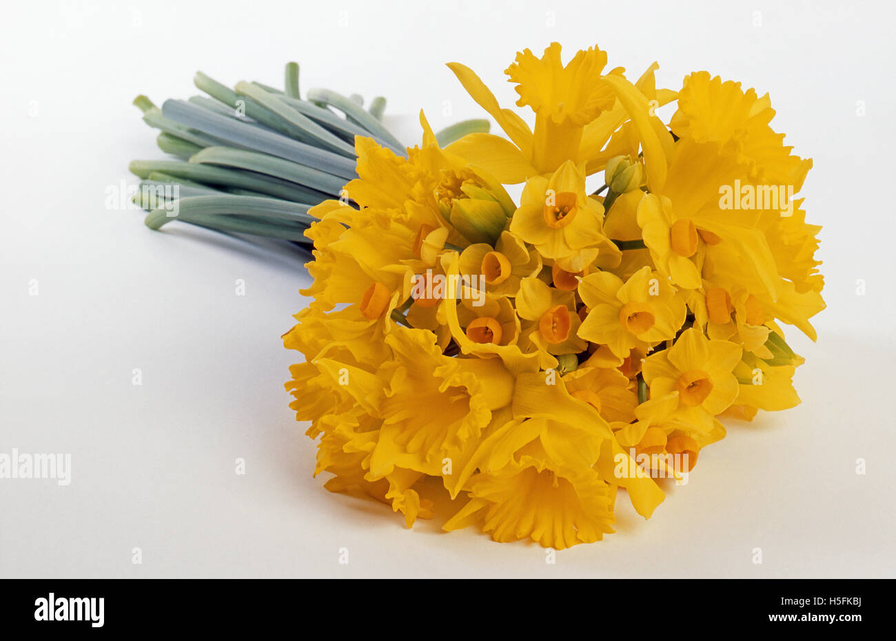 Studio image of a bunch of Daffodils and Jonquils (Narcissus) Stock Photo