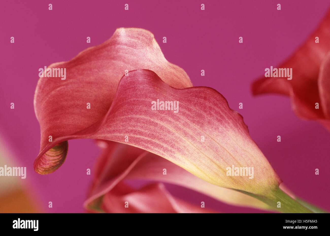 ZANTEDESCHIA (REHMANII) (CALLA) 'CLARET' (PINK CALLAS OR PINK ARUMS) - Stock Image
