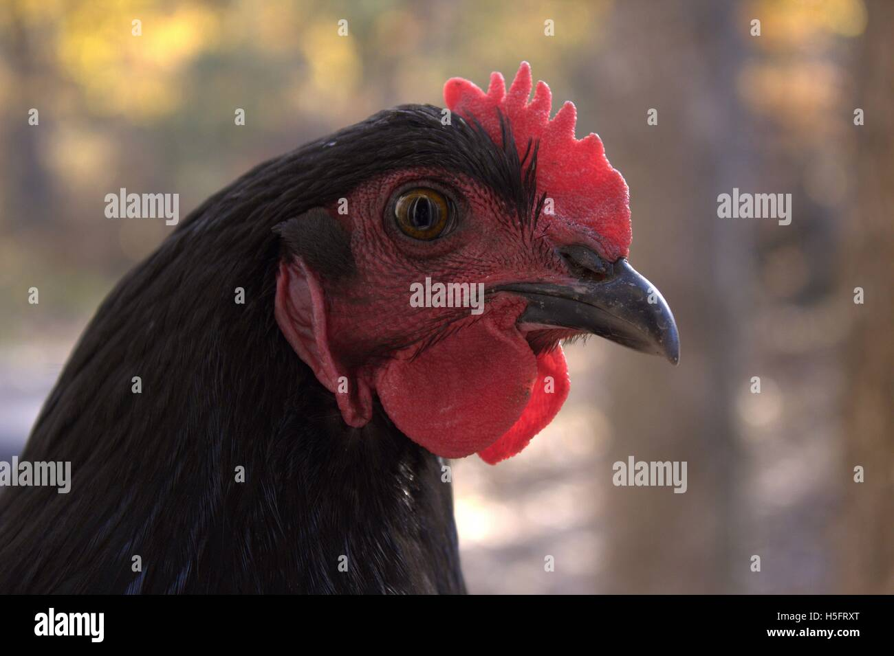 Black Jersey Giant Hen, Close Up - Stock Image