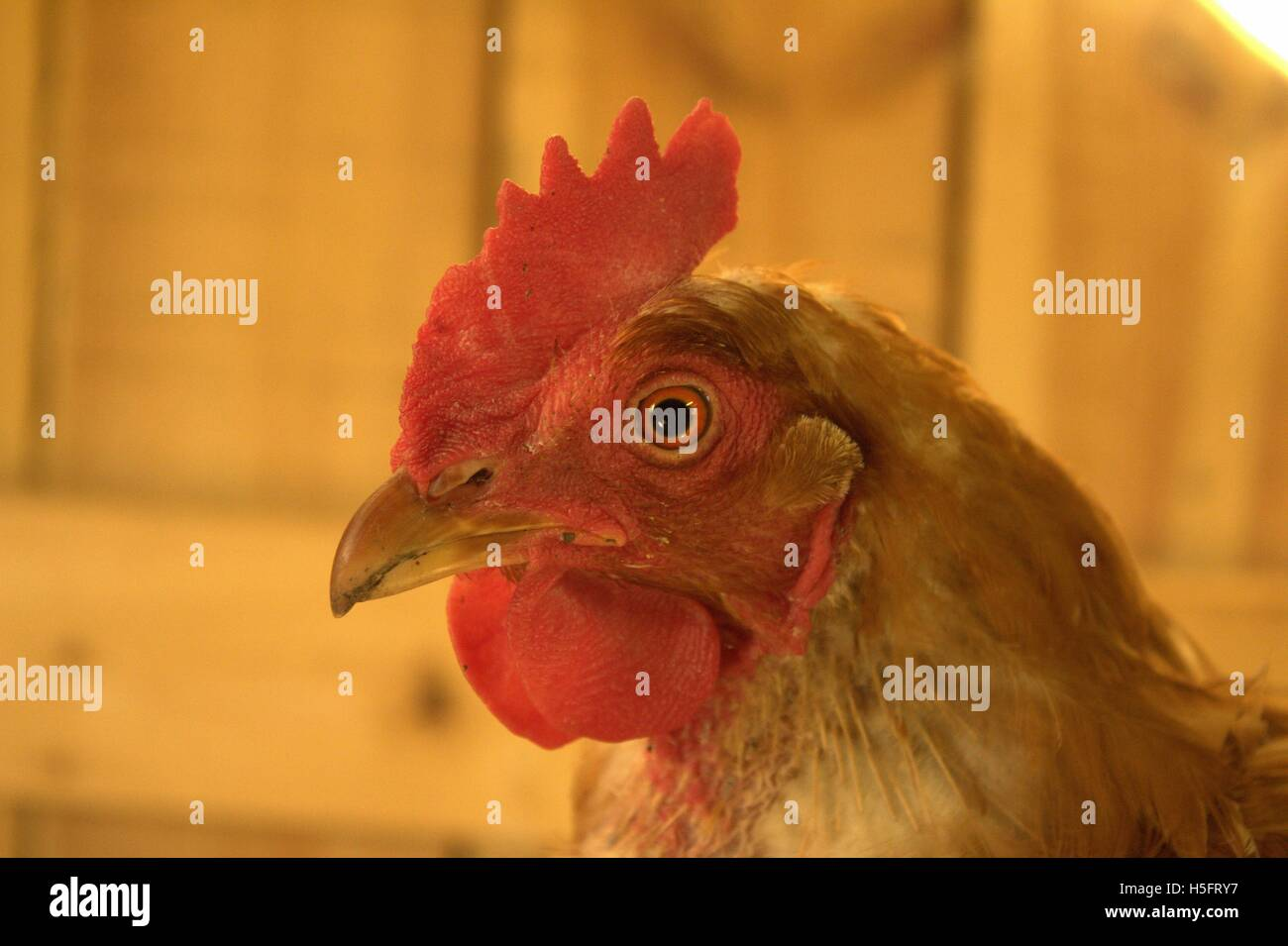 Old Isa Brown Biddy Hen in The Coop - Stock Image