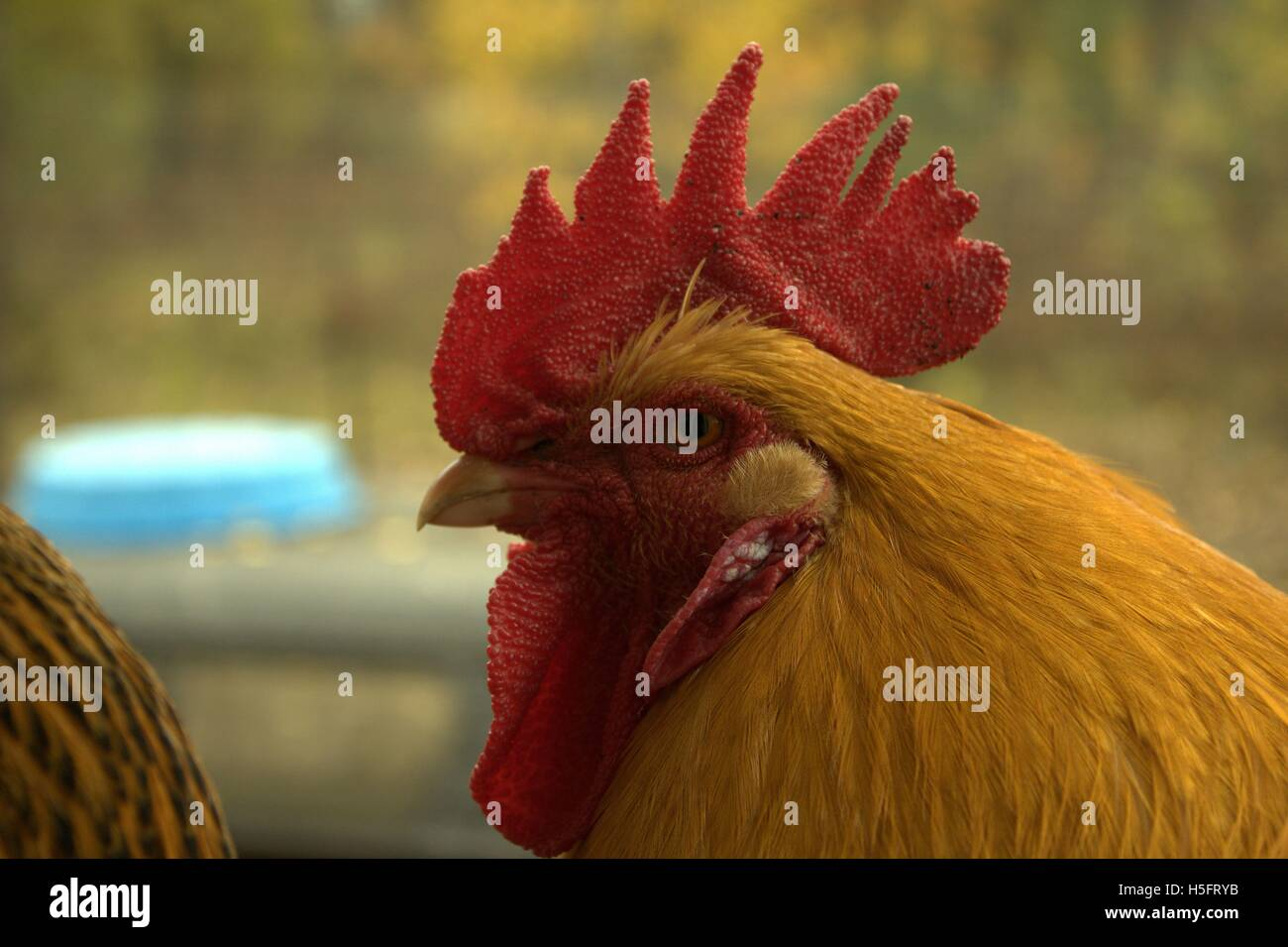 Buff Orpington Rooster Close Up - Stock Image