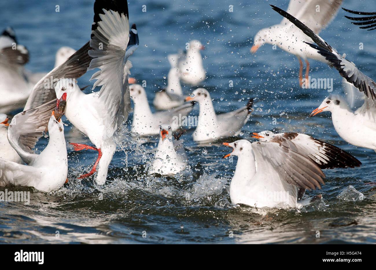 The image of Brown headed gulls(  Chroicocephalus brunnicephalus) with fish, near Pune, Maharashtra, India - Stock Image