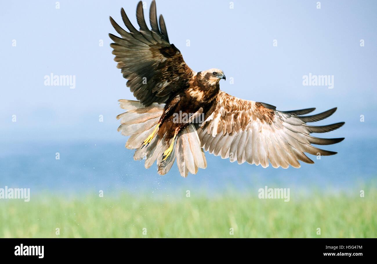 The image of Marsh harrier  ( Circus aeruginosus) wings open , near Pune, Maharashtra, India - Stock Image