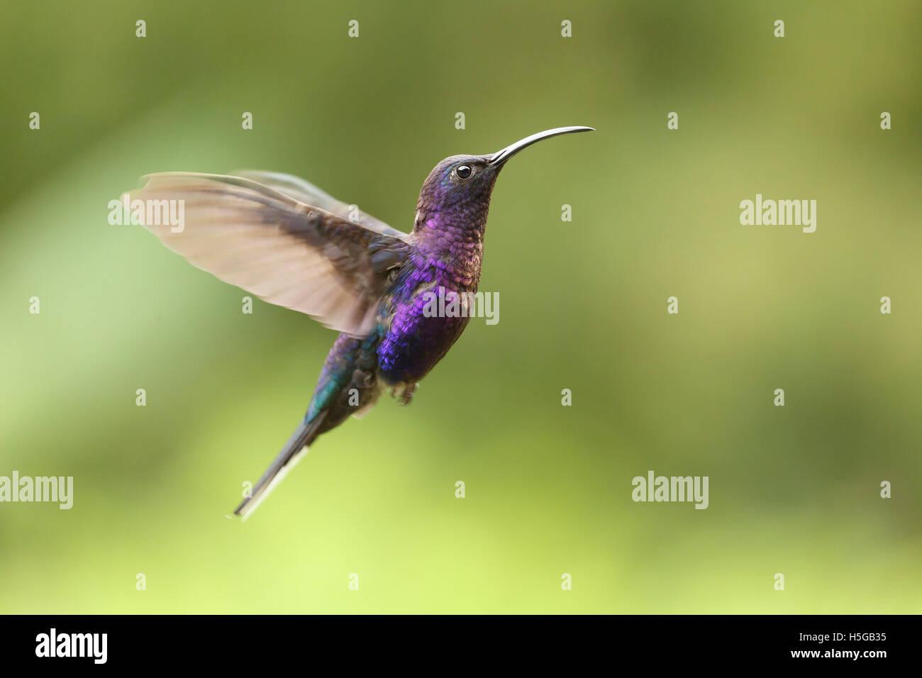 Violet Sabrewing Hummingbird, Campylopterus hemileucurus, male, Costa Rica Stock Photo