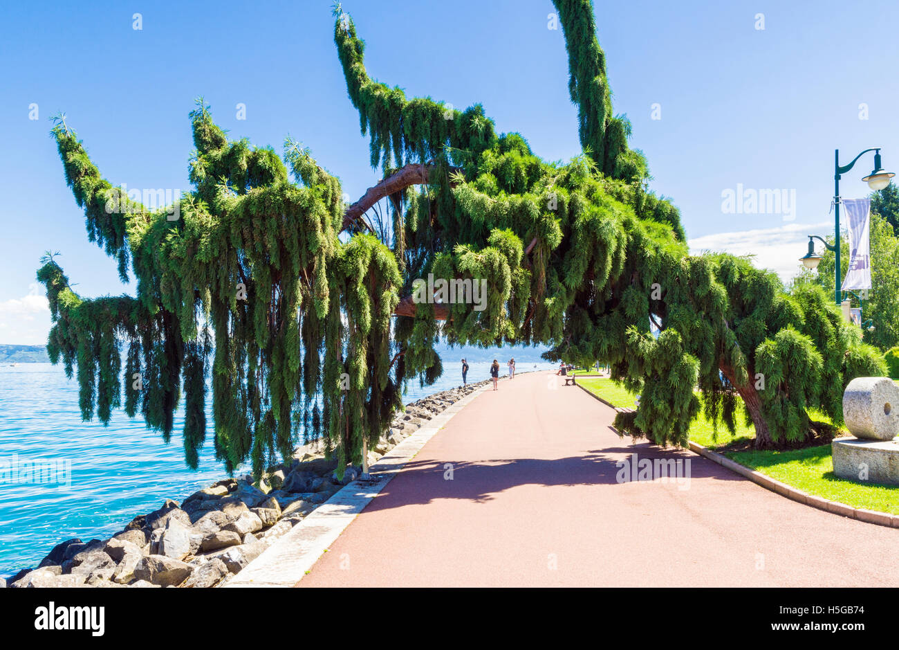 A weeping Giant Sequoia tree leaning over the waterfront promenade in Évian-les-Bains, France - Stock Image