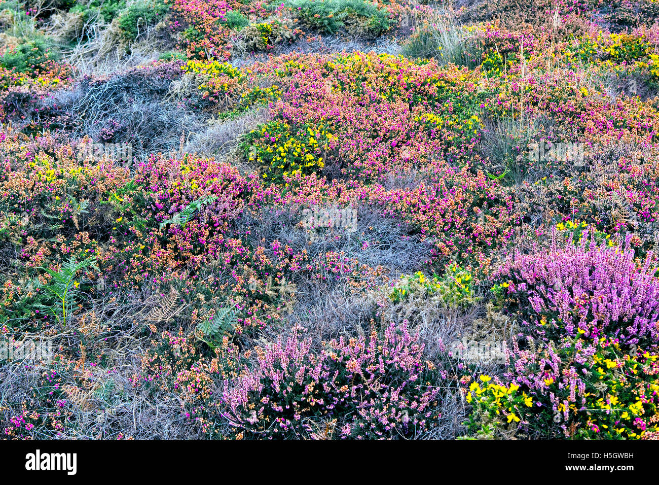 Blooming heath, furze and fern in Brittany, France - Stock Image
