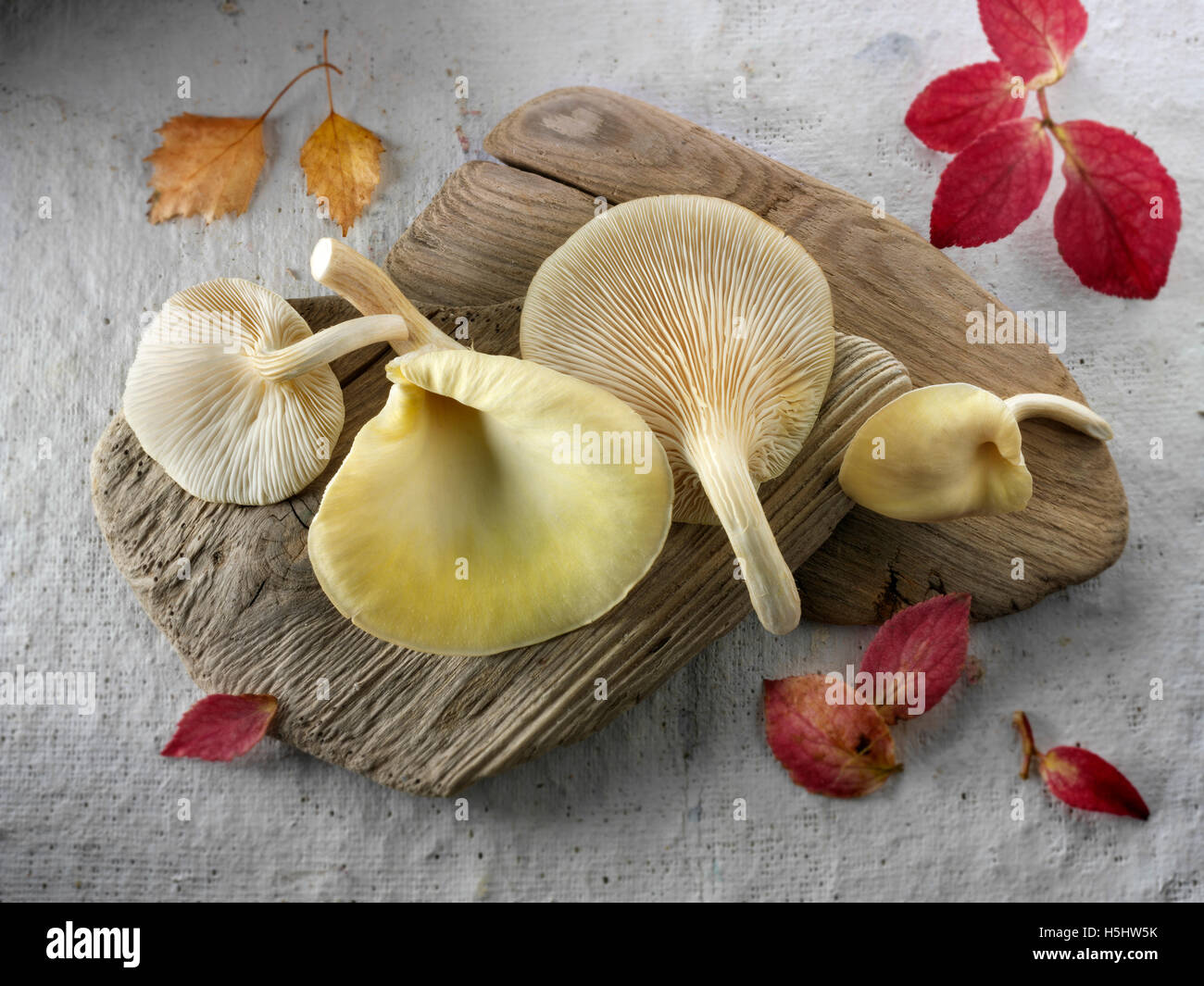 Fresh picked edible yellow or golden oyster mushrooms (Pleurotus citrinopileatus) - Stock Image