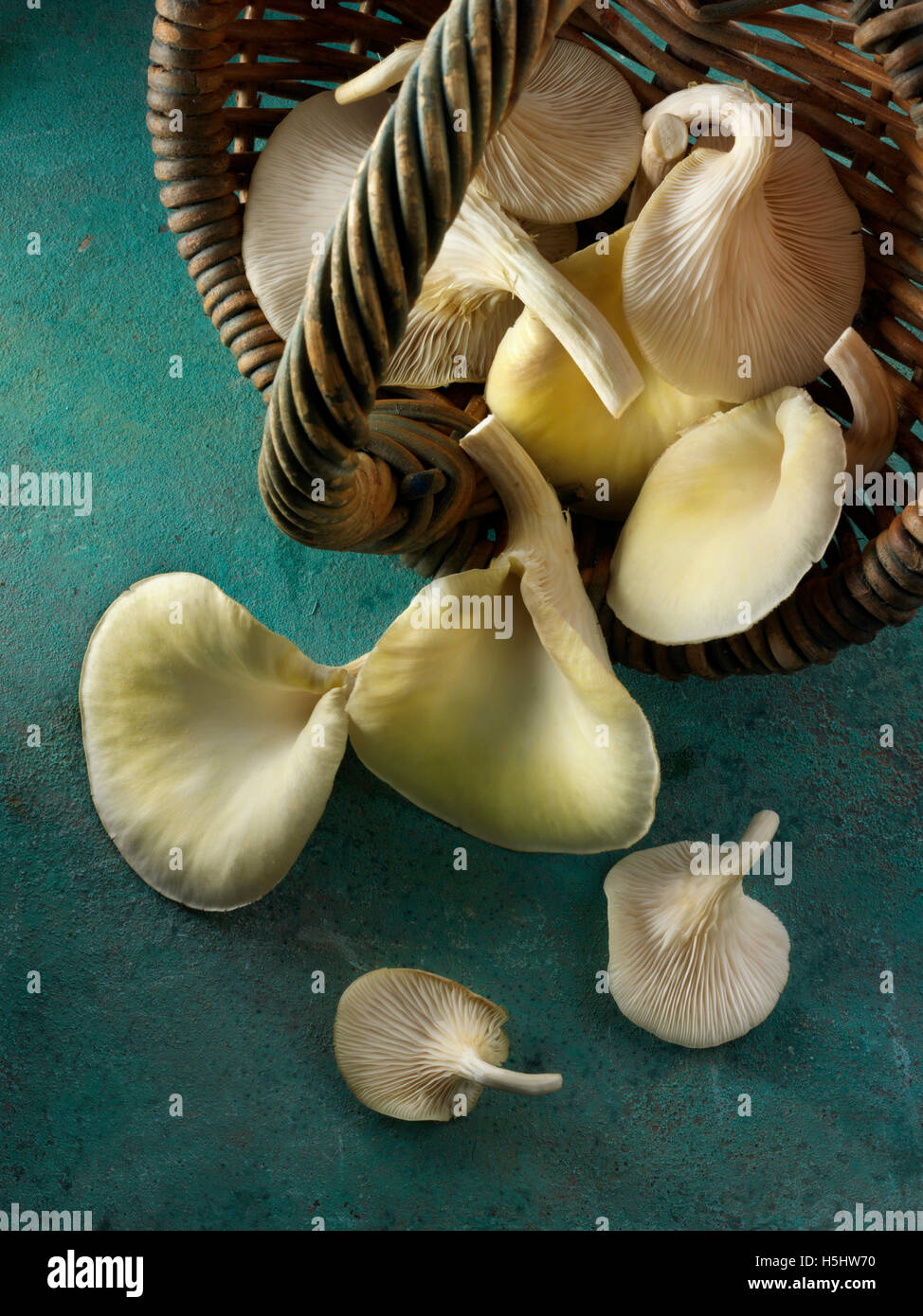 Fresh picked basket of edible yellow or golden oyster mushrooms (Pleurotus citrinopileatus) - Stock Image