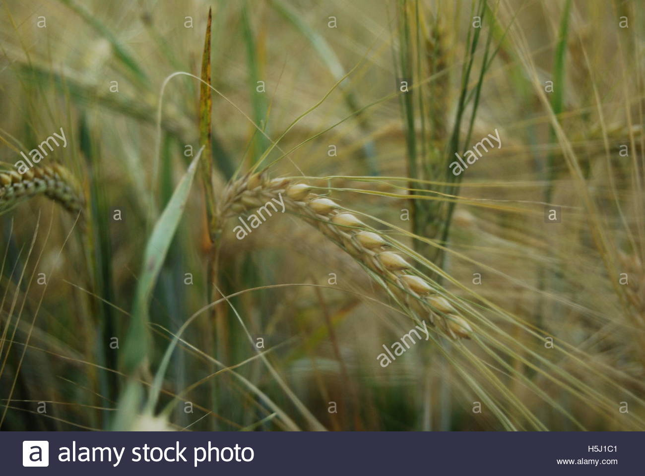Spigot barley in the field - Stock Image