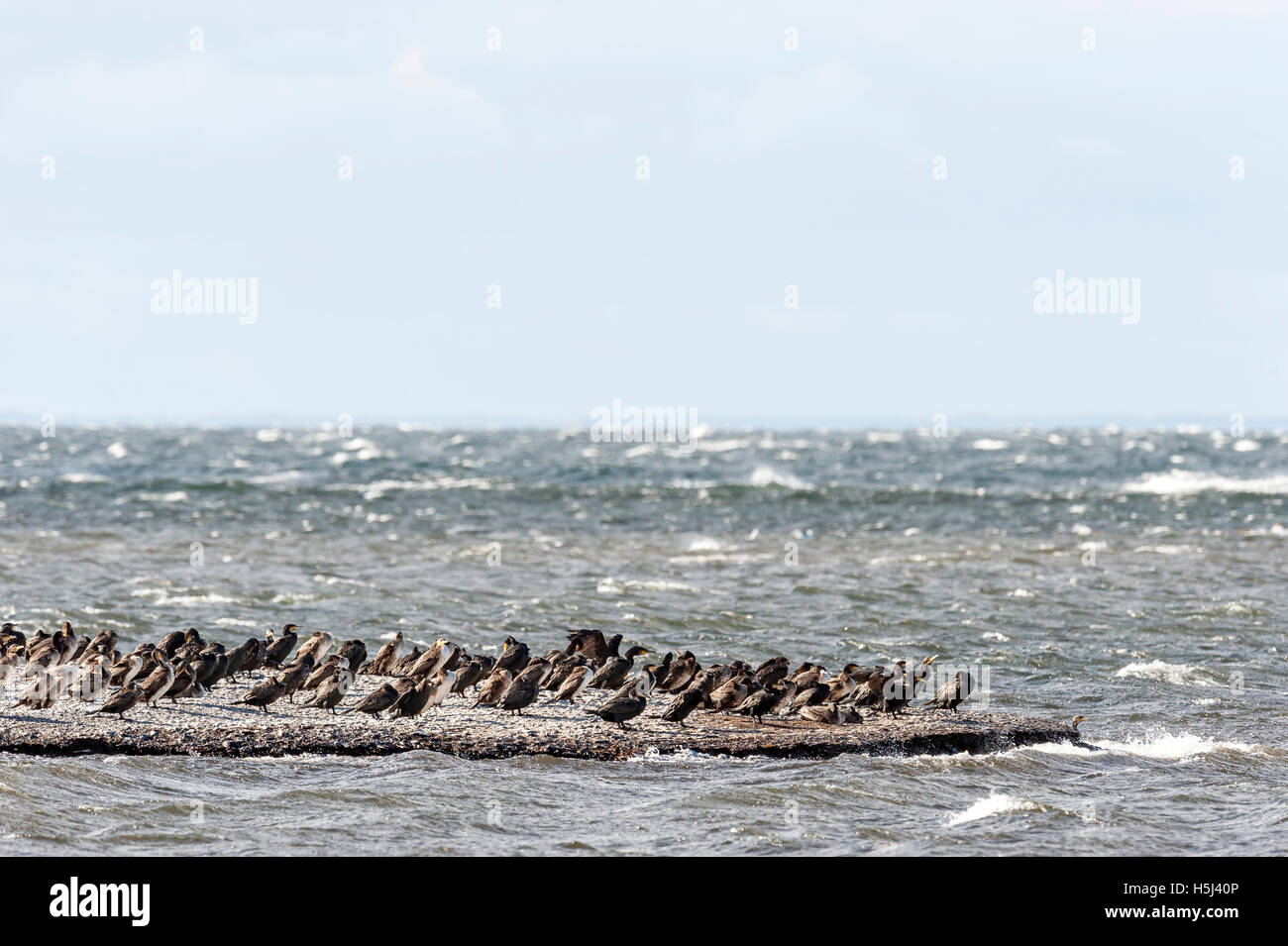 Great cormorants in the Baltic Sea (Phalacrocorax carbo) - Stock Image