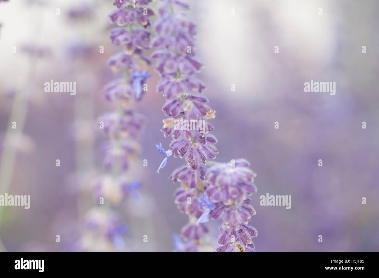 lavender flower close up Stock Photo