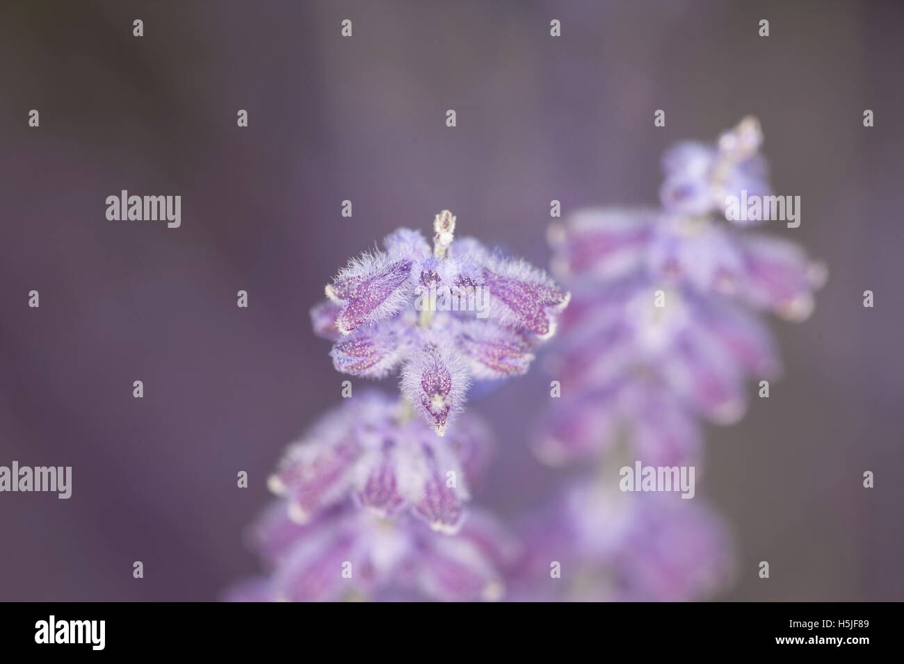 close up of nice purple lavender Stock Photo