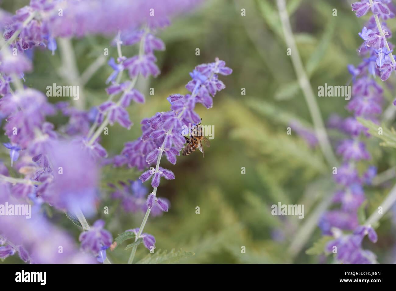 purple lavender close up Stock Photo