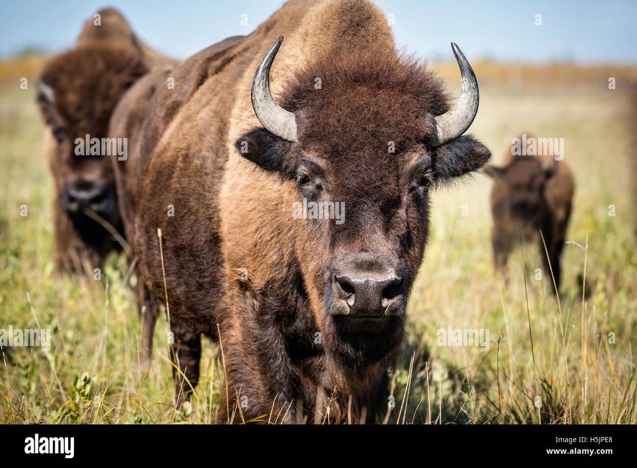 Plains Bison, (Bison bison bison) or American Buffalo, Riding Mountain National Park, Manitoba, Canada. - Stock Image