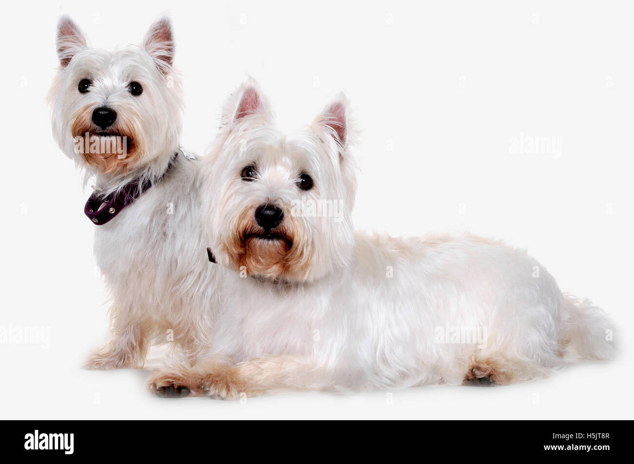 Two west highland terriers photographed in a photographic studio in the UK. - Stock Image