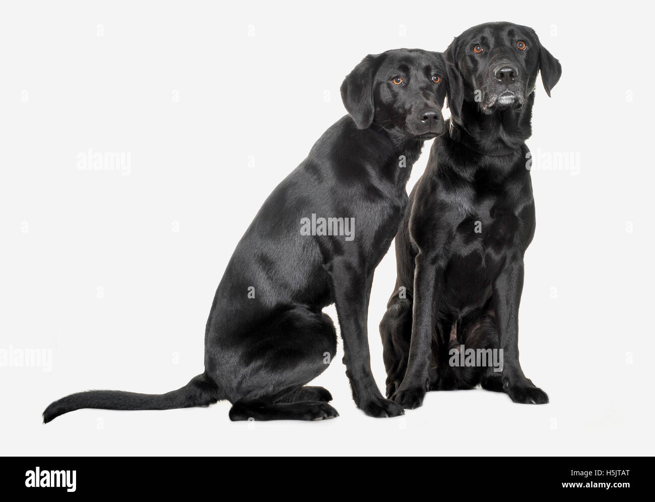 Image of: Puppy Two Black Labrador Dogs Photographed On White Background In Photographic Studio Stock Glassdoor Two Black Labrador Dogs Stock Photos Two Black Labrador Dogs Stock
