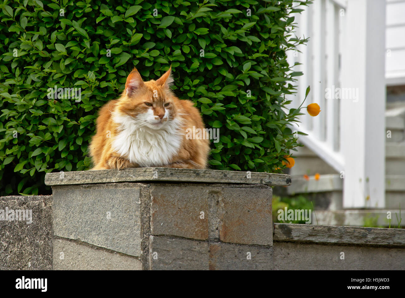 Domestic longhaired brown and white cat (Felis catus) Stock Photo