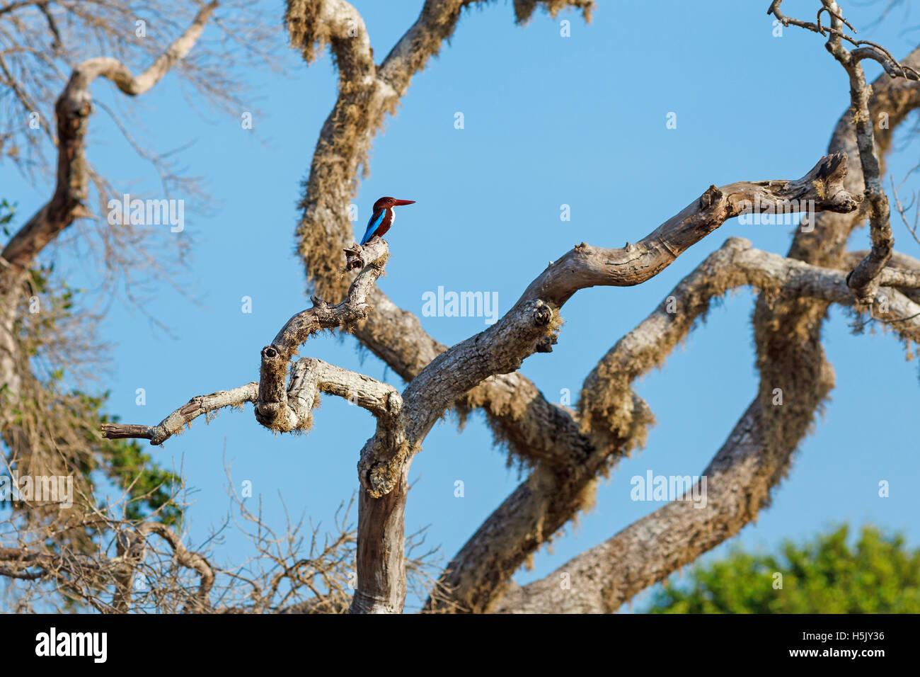 White-throated Kingfisher sitting on tree against blue sky, Yala National Park, Sri Lanka - Stock Image