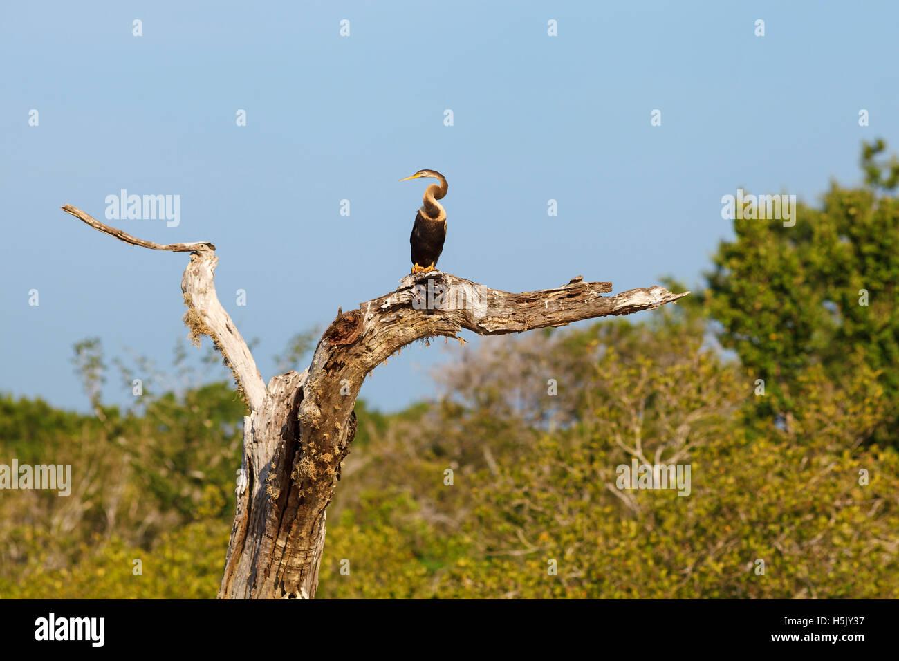 Oriental Darter sitting on tree against blue sky, Yala National Park, Sri Lanka - Stock Image