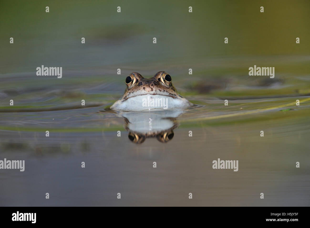 Common Frog in garden pond with reflection, about to croak, Bentley, Suffolk, March - Stock Image