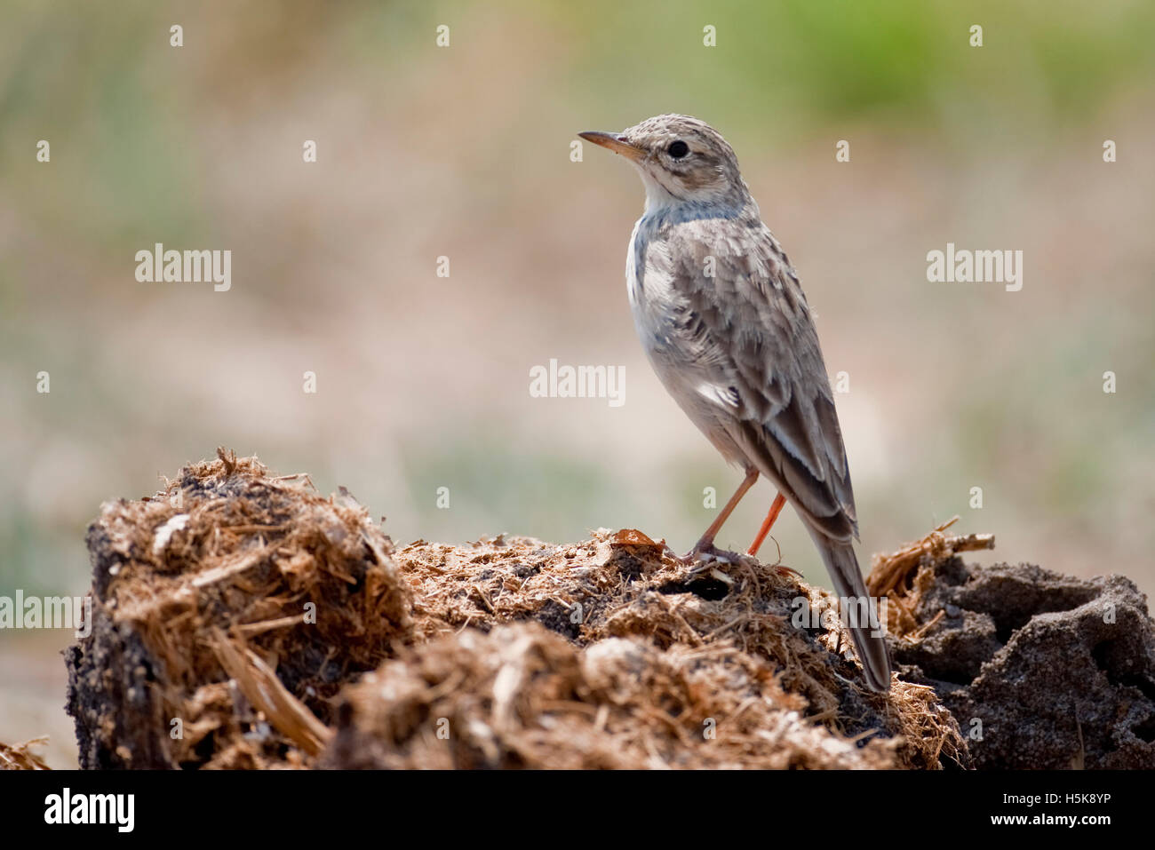 African Pipit (Anthus cinnamomeus), Hwange National Park, Zimbabwe, Africa Stock Photo