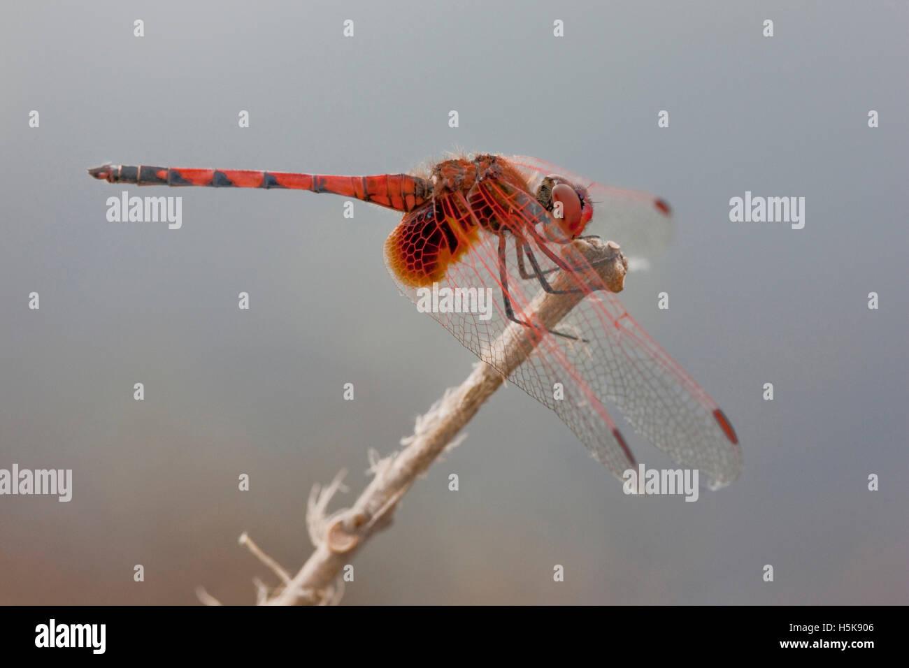 Dragonfly (Anisoptera), Hwange National Park, Zimbabwe, Africa Stock Photo