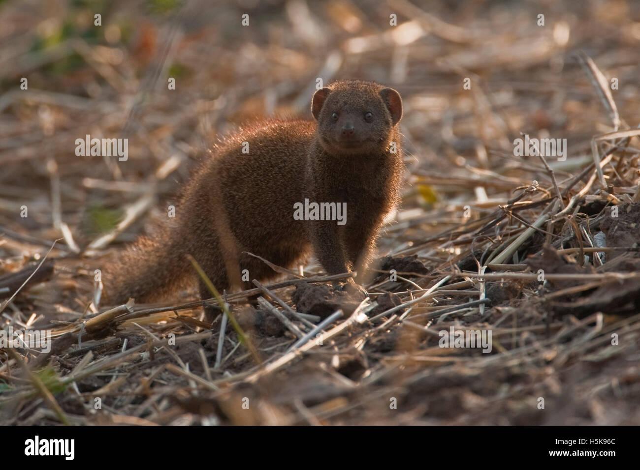 Yellow Mongoose (Cynictis penicillata), Hwange National Park, Zimbabwe, Africa Stock Photo