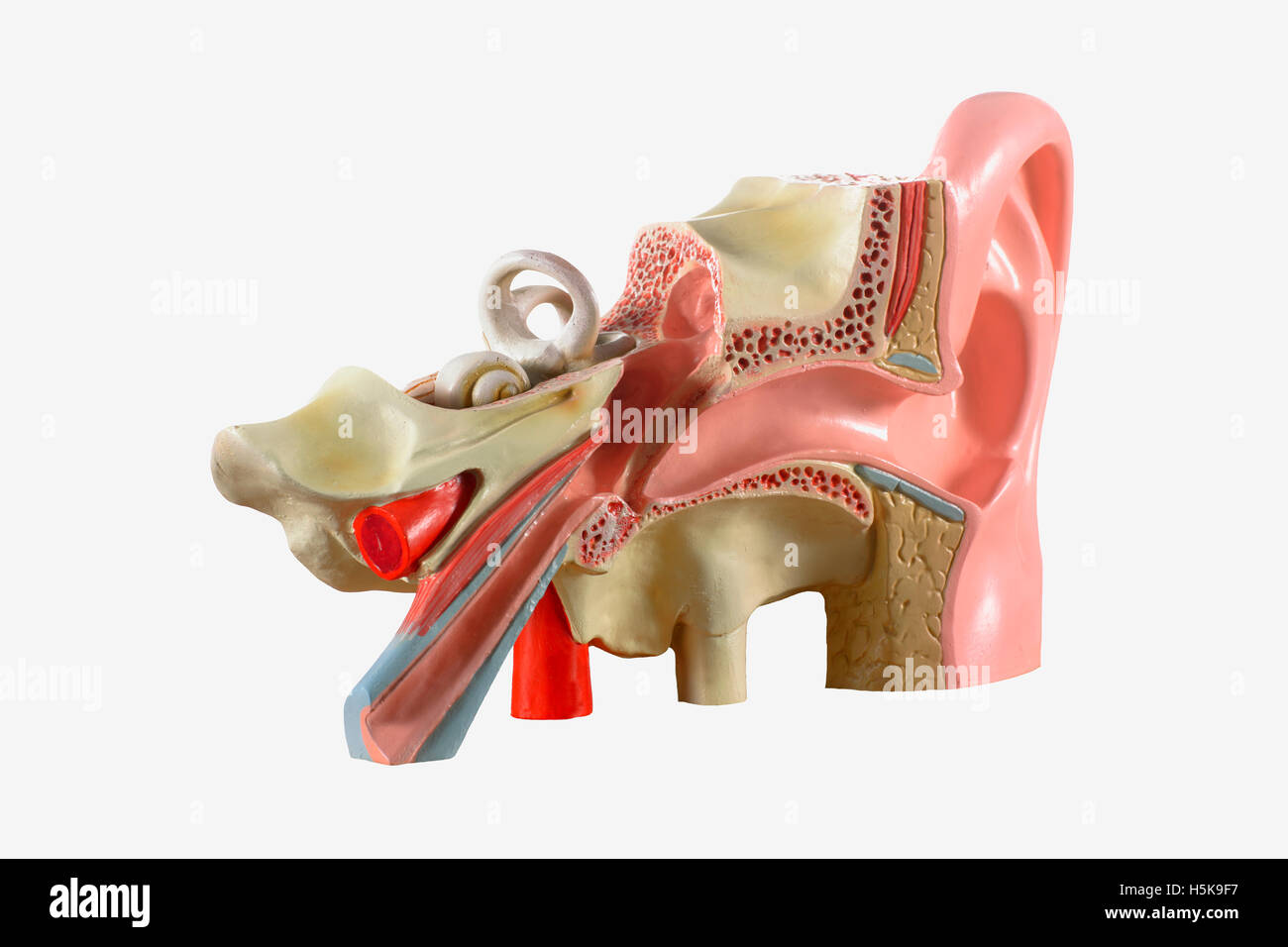 Anatomical Model Of The Middle Ear Stock Photo 123970427 Alamy