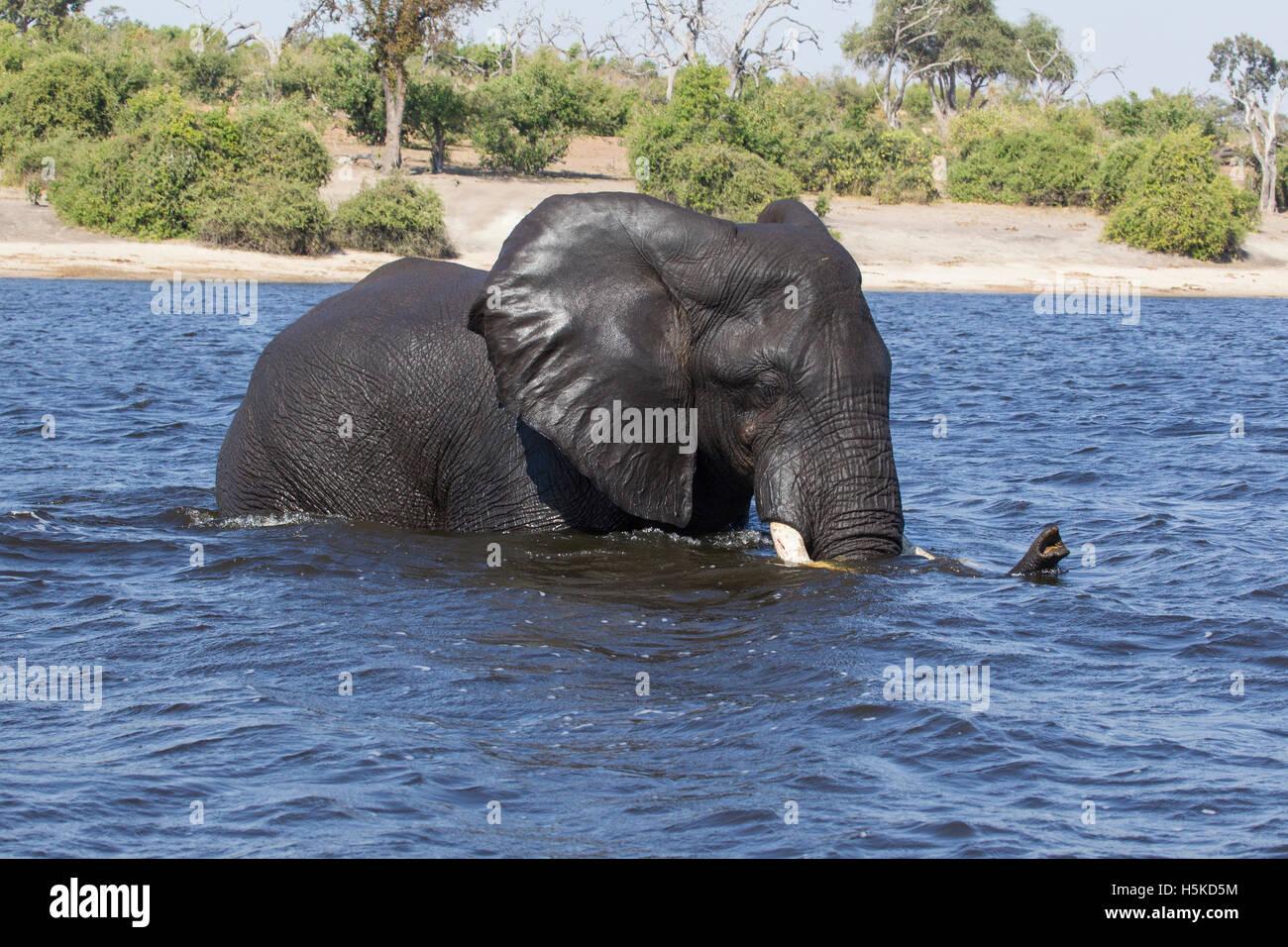 Large African elephant Loxodonta africana wading across the Chobe river in Boswana - Stock Image