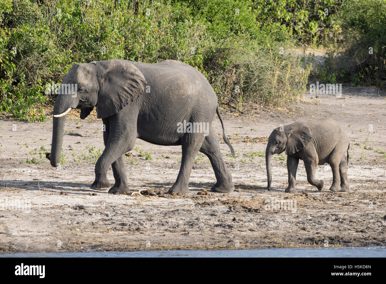 Mother and baby African elephants Loxodonta africana walking in line on the banks of the Chobe river Stock Photo