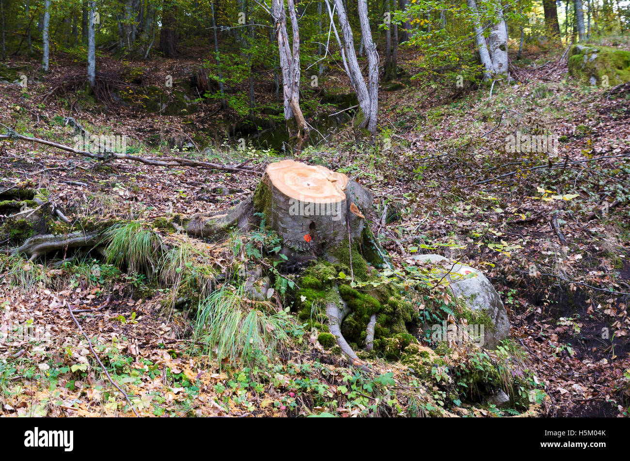 Cut tree in a wood. Lumber industry - Stock Image