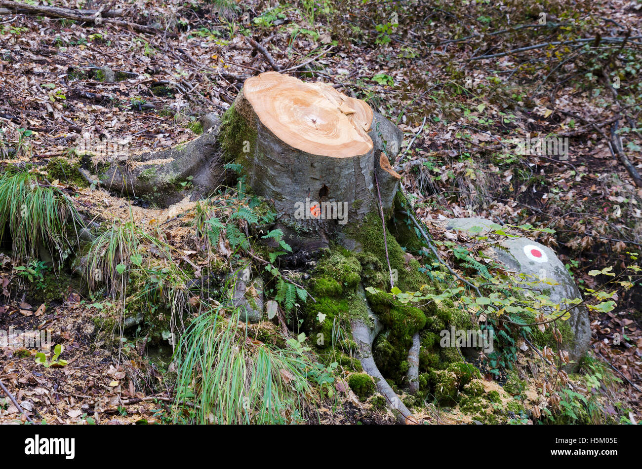 Deciduous tree cut in a controlled logging.  Lumber industry - Stock Image