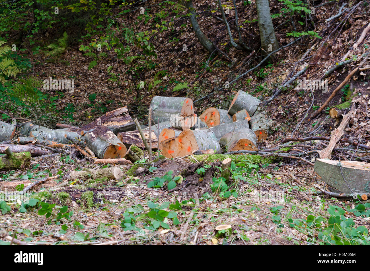 Logging in the wood.  Lumber industry - Stock Image