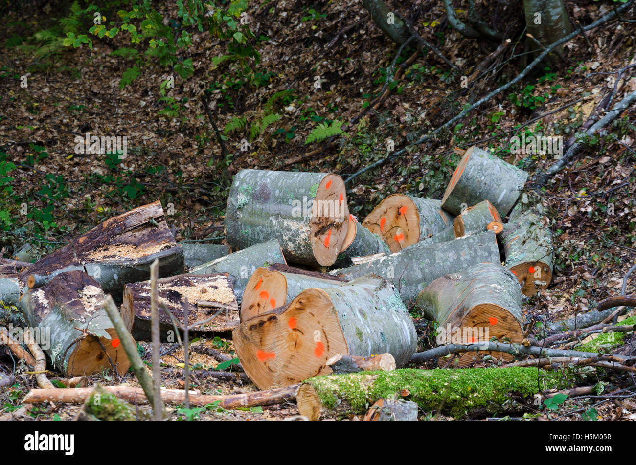 Logs in a forest.  Lumber industry - Stock Image