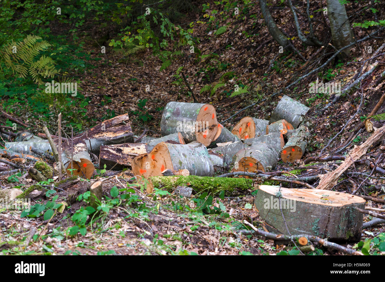 Marked logs in a forest. Lumber industry - Stock Image
