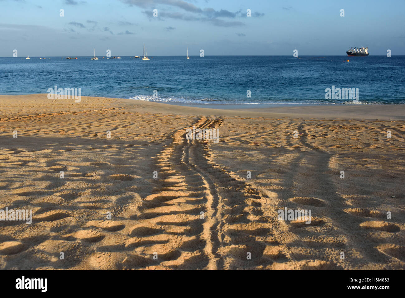 Tracks made by a female Green Sea Turtle (Chelonia mydas) when she came ashore to lay her eggs - Stock Image