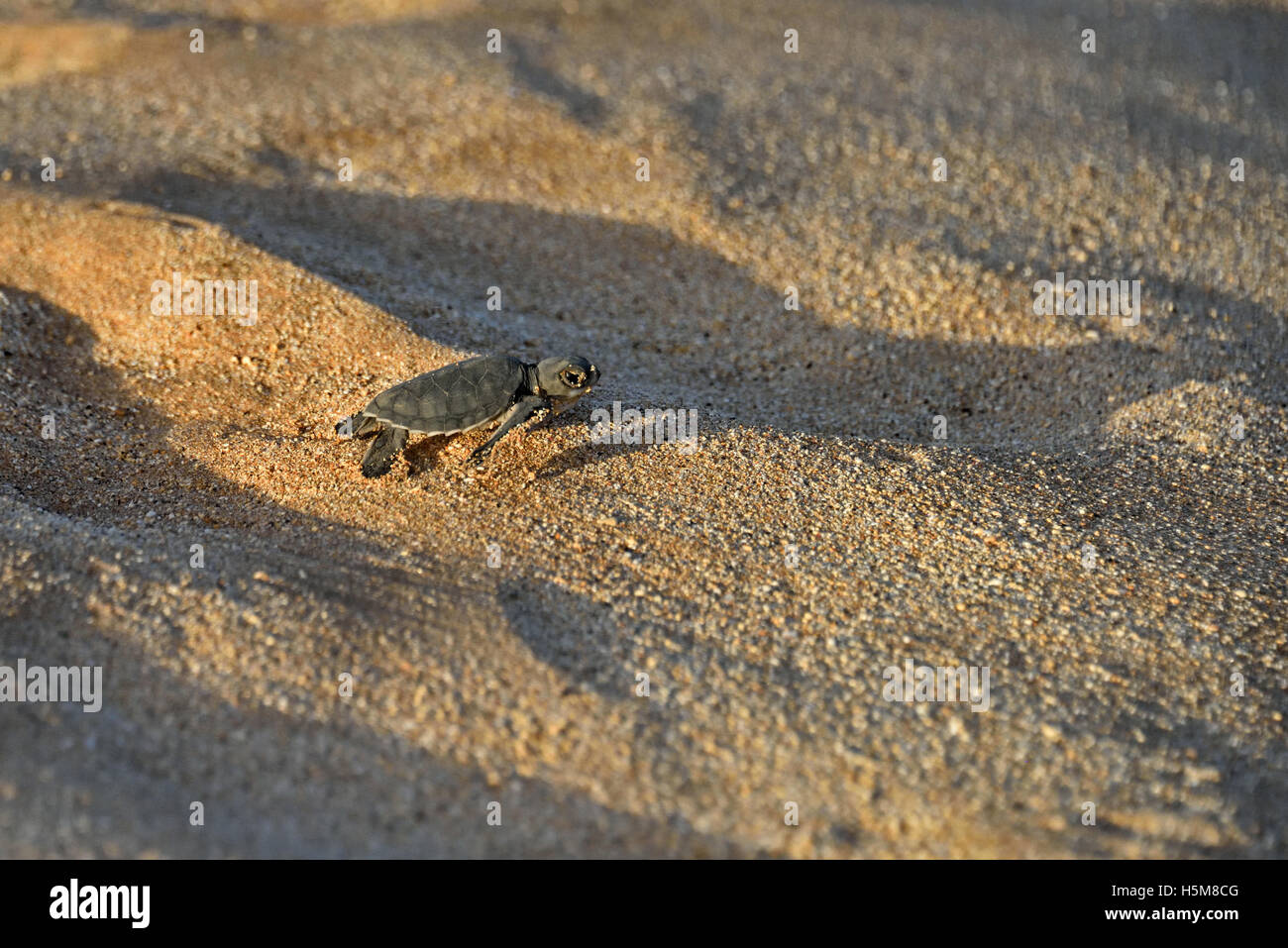 A newly emerged Green Sea Turtle hatchling (Chelonia mydas) making its way to the sea on Long Beach on Ascension - Stock Image