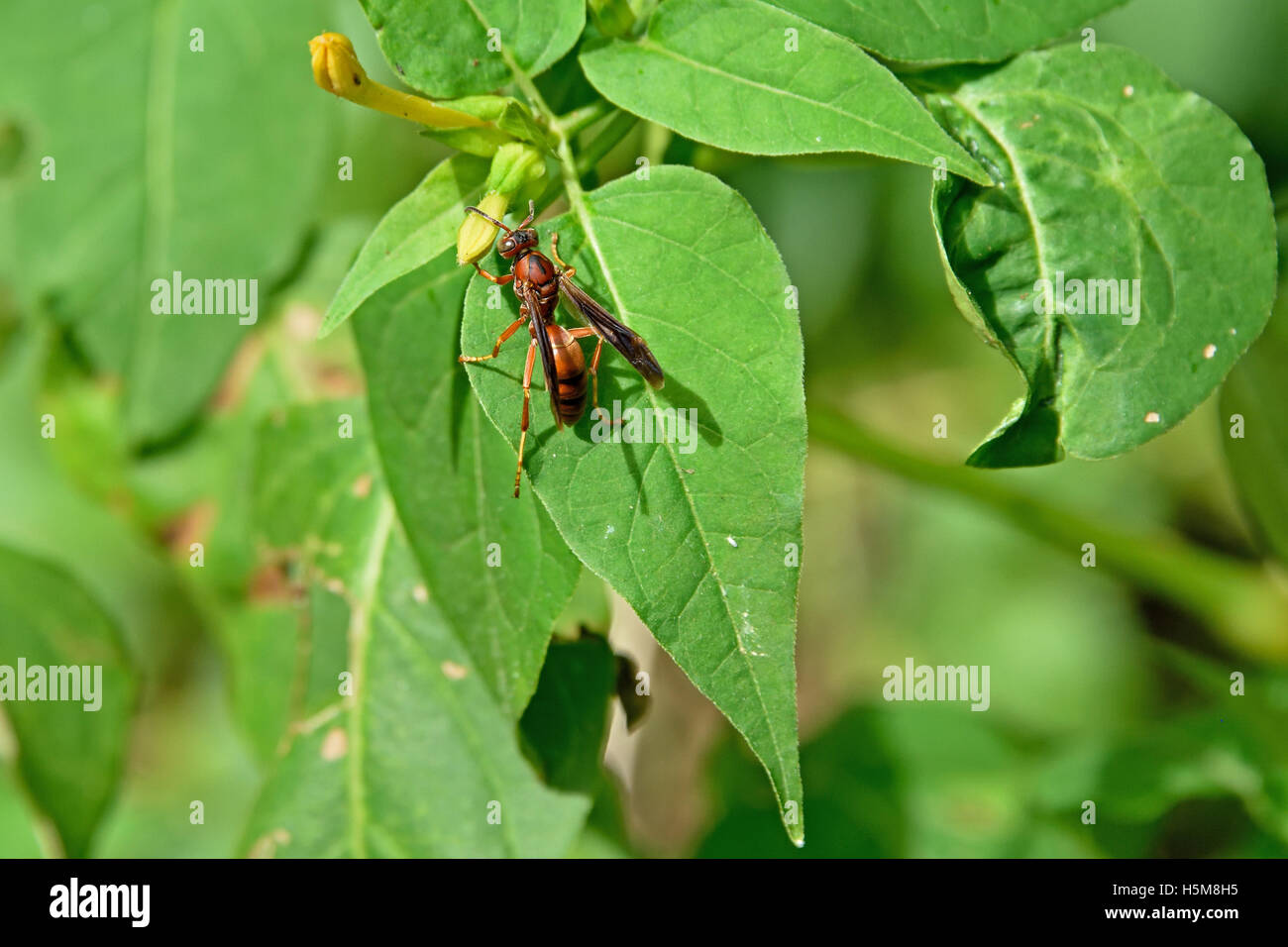 Paper Wasp Species Stock Photos Amp Paper Wasp Species Stock
