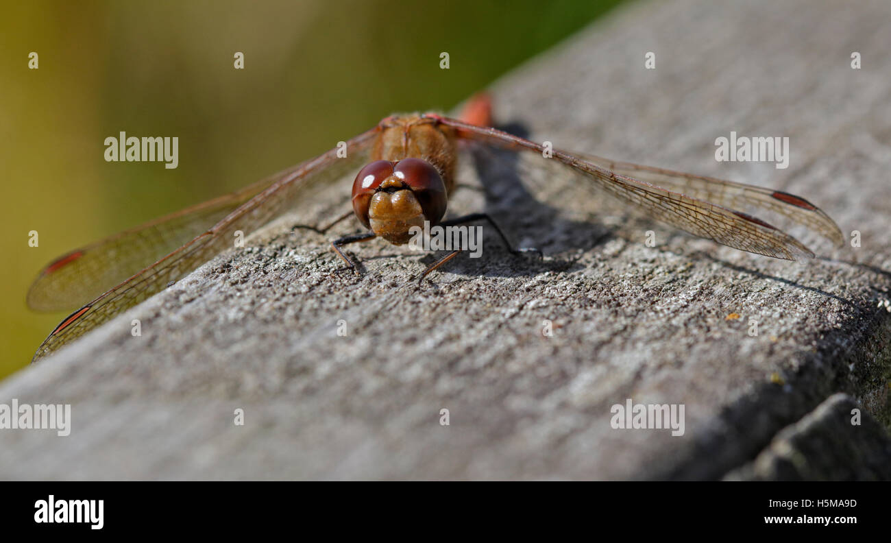 Common Darter Dragonfly (sympetrum striolatum) Stock Photo