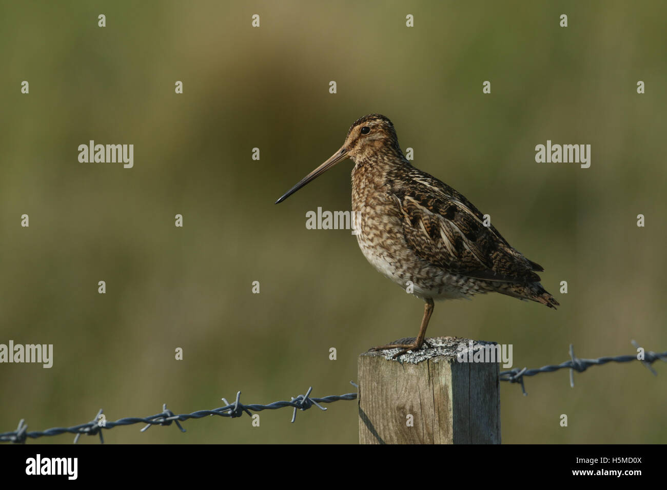 A Snipe (Gallinago gallinago) perched on a post . - Stock Image
